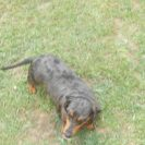 Windy, a Short Haired Black and Tan Dapple Female