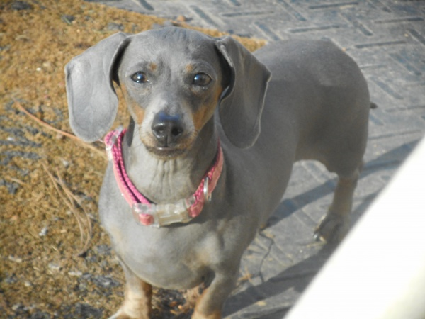 Jenny, a Short Haired Blue and Tan Female