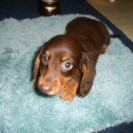 Honey's little Longhaired Chocolate and Tan Male is Sold