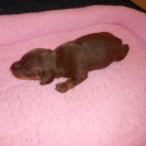Rosie's First Short Haired Chocolate and Tan Female Born is Sold