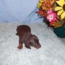 Rosie's  Last Little Short Haired Chocolate and Tan Female is Sold