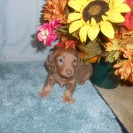 Rosie's little Isabella and Tan Female Born is Sold
