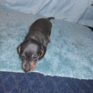 Patti Ann's Little Short Haired Blue and Tan Male Puppy is Sold