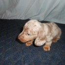 Patti's Short Haired Isabella and Tan Male is now Sold.