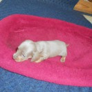 Jewels First Little Short Haired Isabella and Tan Female is Sold