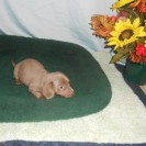 Jewels Second Little Short Haired Isabella and Tan Female is Sold