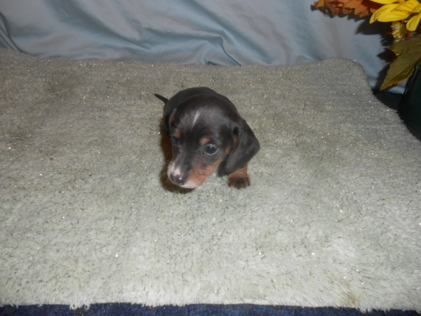 Jewels First Little Short Haired Blue and Tan Male is Sold