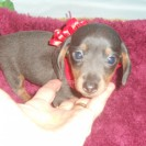 Jewels' Second Little Short Haired Blue and Tan Male, and the Runt is Sold