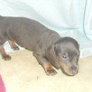 Jewels Third Little Short Haired Blue and Tan Male is Sold.