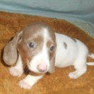 Carlie's First Little Isabella and Tan Piebald Female is Sold