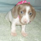 Carlie's Little Short Haired Isabella and Tan Piebald Female is Sold