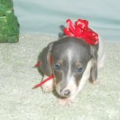 Carlie's Third Little Short Haired Blue and Tan Piebald Male is Sold