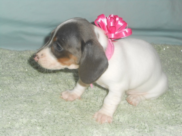 Carlie's Little Short Haired Blue and Tan Piebald Female is Sold.