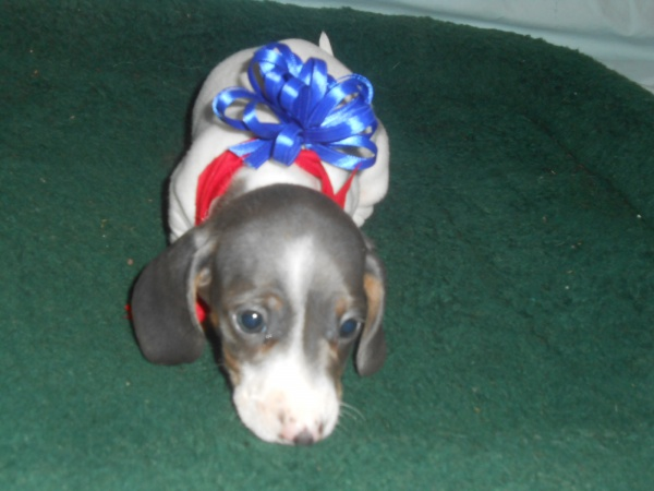 Carlie's Second Little Short Haired Blue and Tan Piebald Male is Sold