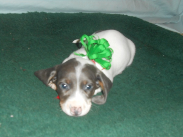 Carlie's First Little Short Haired Blue and Tan Piebald Male is Sold
