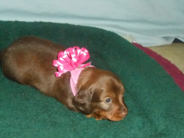 Daisy's Little Long Haired Chocolate and Tan Female is Sold