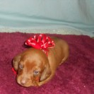 Daisy's Little Short Haired Red Male is Sold