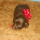 Daisy's Little Long Haired Chocolate and Tan Male is Sold.