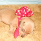 Sophie's Little Short Haired Red Male is Sold