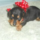 Sophie's First Little Short Haired Black and Tan Male is Sold