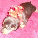 Sophie's Second Little Short Haired Black and Tan Male is Sold