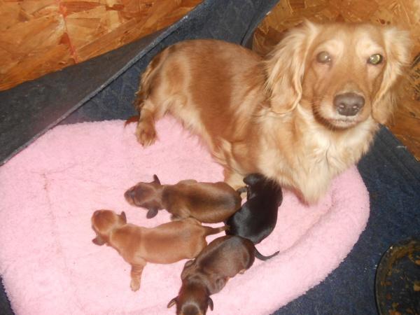 Long haired dachshund alabama