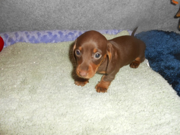 Dachshund Potty Training