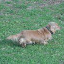 This is My Heidi, a Longhair English Cream Female