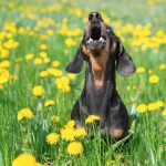 How to Stop Your Dachshund from Barking