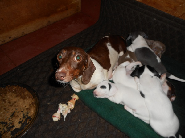 Carlie, a Short Haired Chocolate and Tan Piebald Female