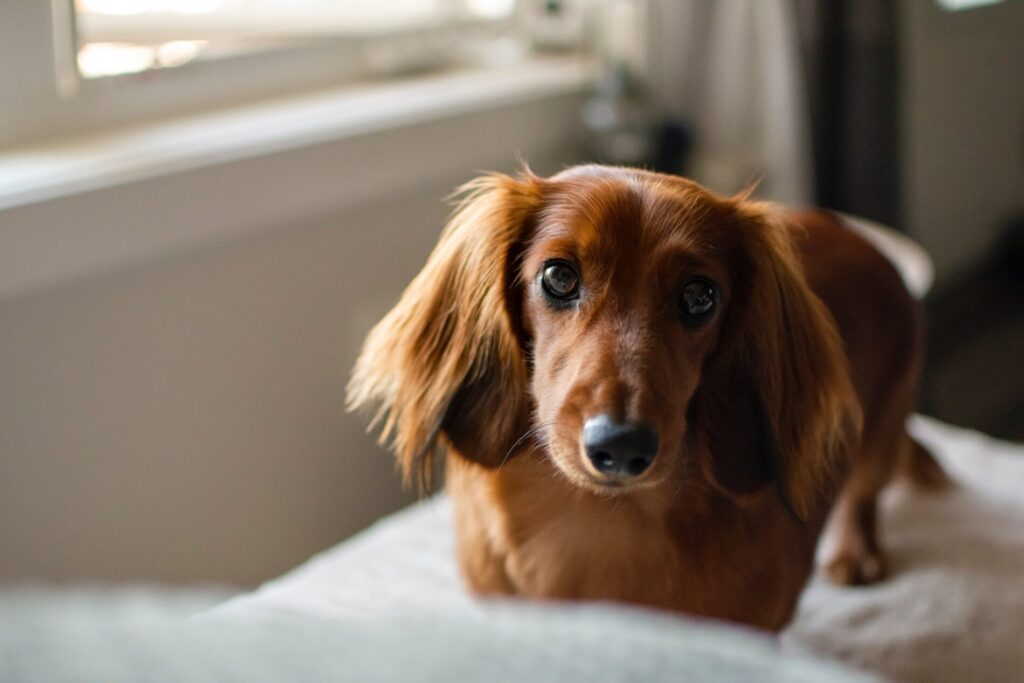 Choosing the Right Dog Groomer for your Dachshund
