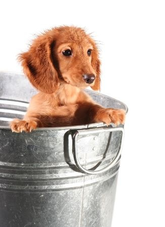 The Proper Way To Give Your Dachshund Puppy A Bath
