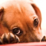 Special Health Tips For Miniature Dachshunds