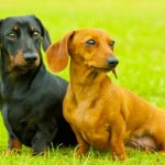 The Differences Between Miniature And Dachshund Puppies