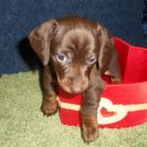Here is Rosie's little AKC and CKC Registered, Chocolate and Tan Male that is Sold to Reecie.