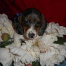 Windy's Short Haired AKC and CKC Black and Tan Dappled Piebald Male is Sold to ALLen and Tammy.