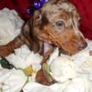 Windy's Short Haired AKC and CKC Registered Chocolate and Tan Dapple Male is Sold to D.K.