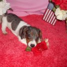 Windy's Short Haired AKC and CKC Black and Tan Dappled Piebald Female is Sold to Reecie.