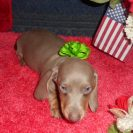 Laura's 1st Short Haired AKC and CKC Isabella and Tan Male is Sold to Kim.