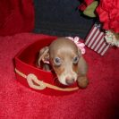 Laura's 2nd Short Haired AKC and CKC Registered Isabella and Tan Female is Sold to Randy.