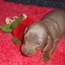 Lulu's 2nd Short Haired AKC and CKC Registered Isabella and Tan Male is Sold to David Michelle.