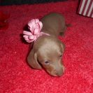 Sonya's 1st Short Haired AKC and CKC Registered Isabella and Tan Female is Sold to Leslie.