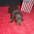 Sonya's 1st Short Haired AKC and CKC Short Haired Blue and Tan Male is Sold to Austin.
