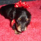 Heidi's Longhair AKC Black and Tan Female is Sold to Corinne.