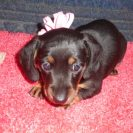 Jasmine's little Short Haired AKC and CKC Registered Black and Tan Female is Sold to Laura.