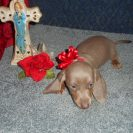 Sonya's 2nd Short Haired AKC and CKC Isabella and Tan Female is Sold to Drew.