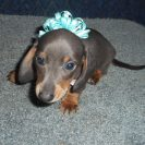 Sonya's 2nd AKC and CKC Registered Short Haired Blue and Tan Male is Sold to Grace and Charlie.