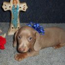 Sonya's 1st Short Haired AKC and CKC Registered Isabella and Tan Male is Sold to Adam.