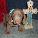Sonya's 2nd Short Haired AKC and CKC Registered Isabella and Tan Male is Sold to Charlotte.