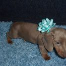 Lulu's 1st Short Haired AKC and CKC Isabella and Tan Male is Sold to Jeff.